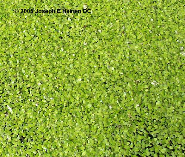 DUCKWEED IS THE SMALLEST