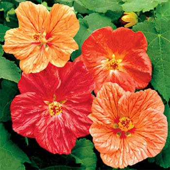 Flowering maple (Abutilon) 25 seeds Free Shipping! USA only - Click Image to Close