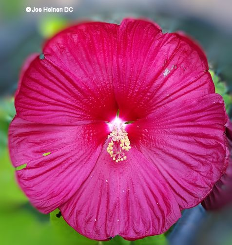 Luna Hibiscus (cold hardy) Free Shipping! - Click Image to Close