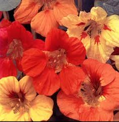 Nasturtium trailing mix 25 seeds Free shipping to the USA only!