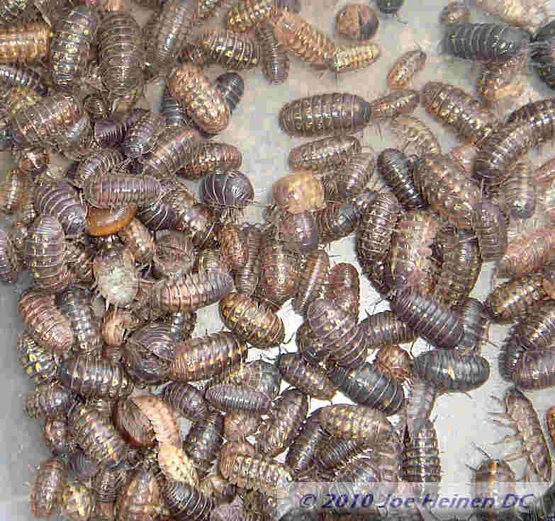 Pill bugs 25 count mixed sizes