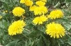 Dandelion (organic) Taraxacum officinale 250 seeds Free Shipping - Click Image to Close